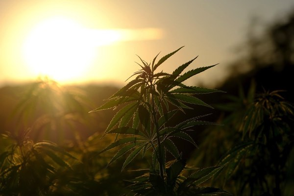 大麻草と日の光