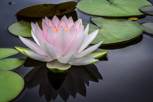 池に浮かぶハスの花