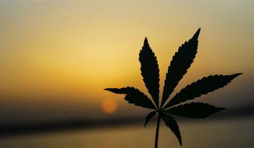 日を浴びたヘンプ・麻の葉